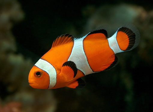 pesce_pagliaccio